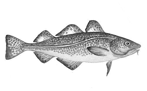 Black and white illustration of fish