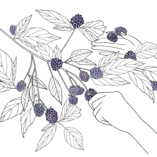 Illustration of blackberries