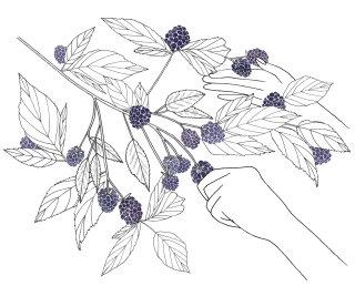 Illustration of blackberries