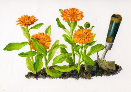 Pot marigold plant realistic art