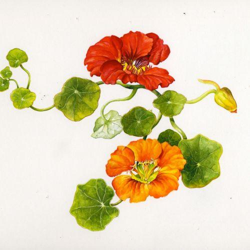 Rosie Sanders Ilustrador botánico internacional. Reino Unido
