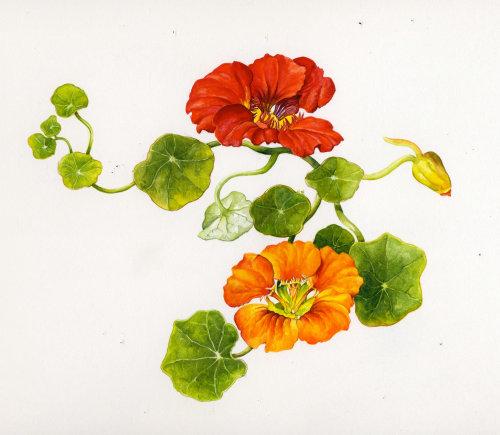 Painting of a Nasturtium Plant