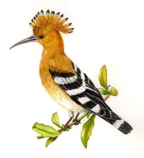Hoopoe bird illustration by Rosie Sanders