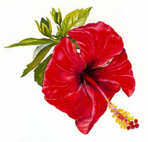 Hibiscus flowers illustration by Rosie Sanders