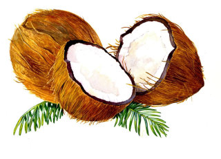 Coconut illustration by by Rosie Sanders