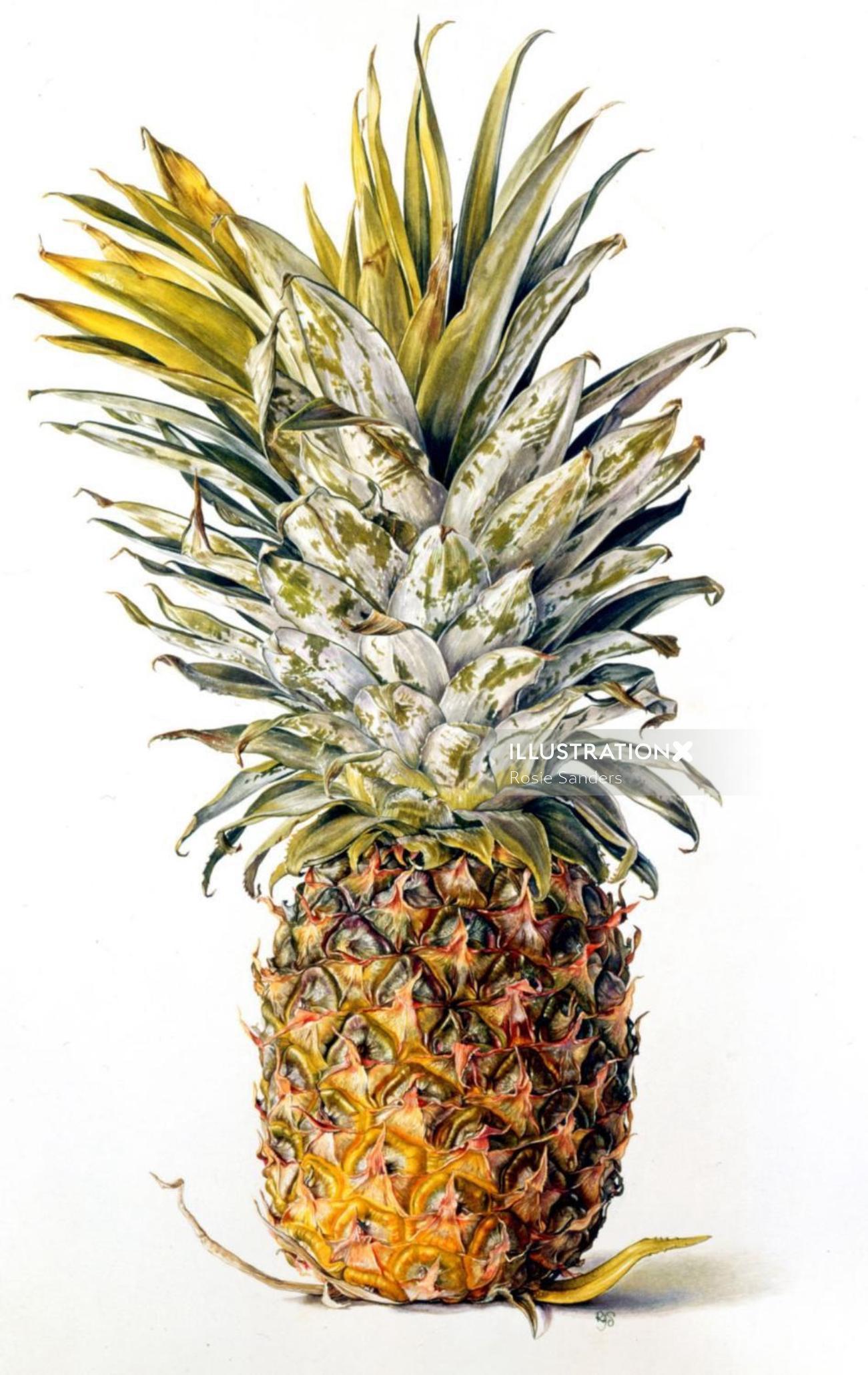 Pineapple illustration by Rosie Sanders