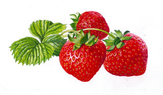 Strawberry illustration by Rosie Sanders