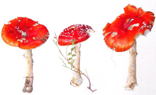 toadstools mushrooms illustration by Rosie Sanders
