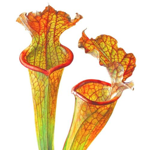 Sarracenia plant illustration by Rosie Sanders