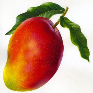 Mango illustration by Rosie Sanders