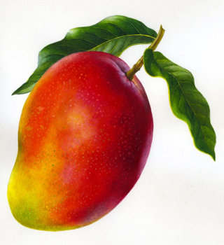 Mango illustration by Rosie Sanders