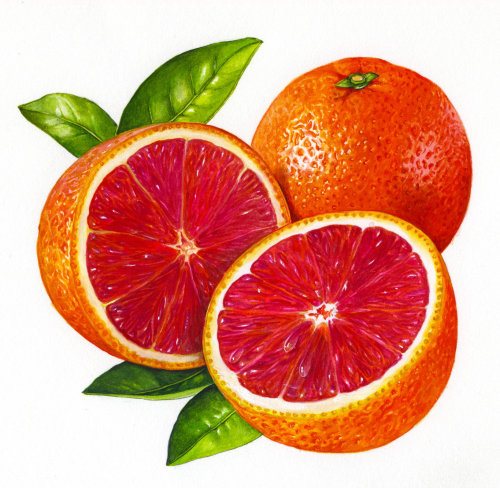 Blood oranges illustration by Rosie Sanders