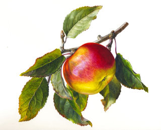 Apple with leaves illustration by Rosie Sanders