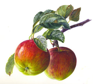 Apples illustration by Rosie Sanders