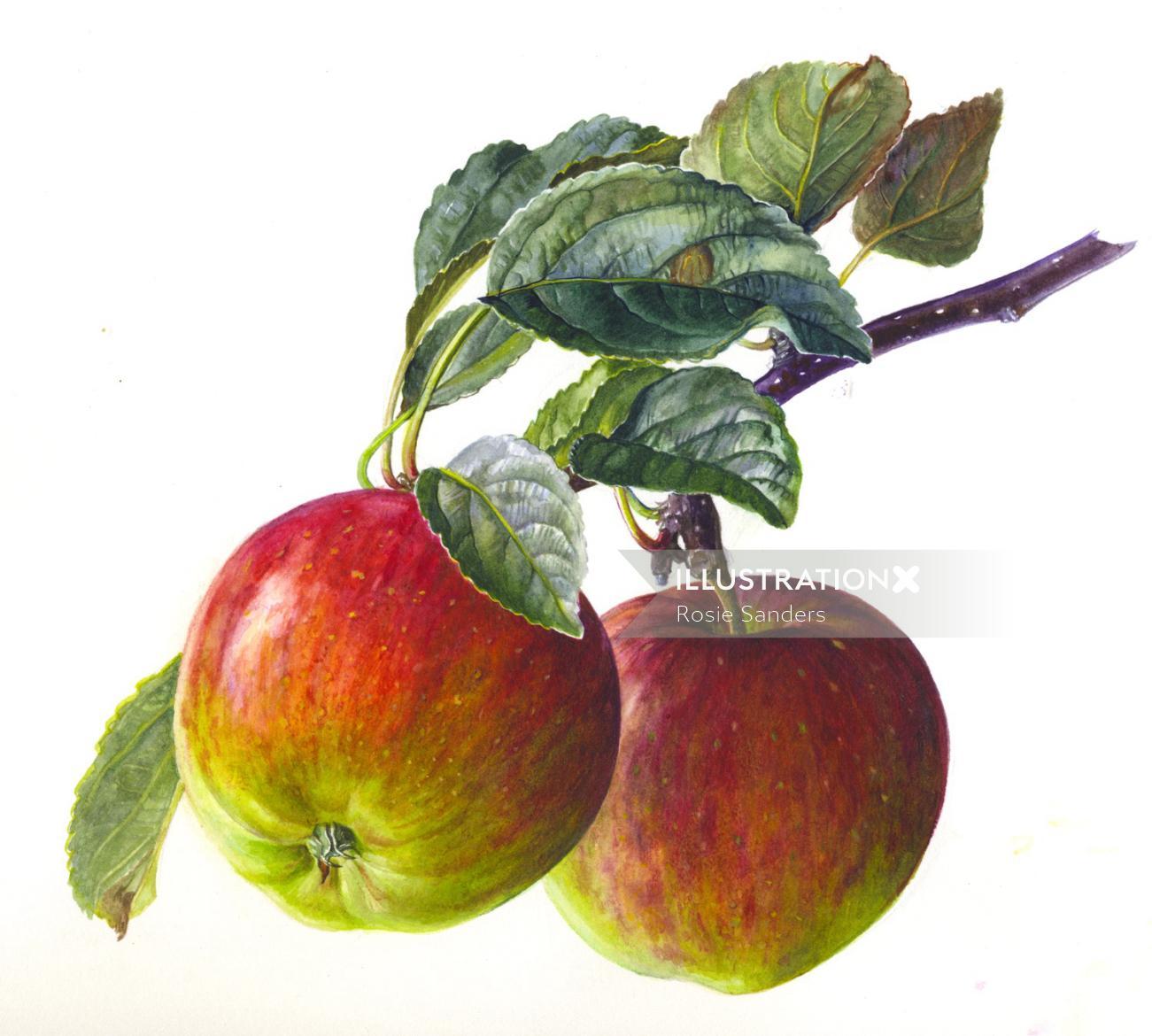Apples illustration by Rosie Sanders