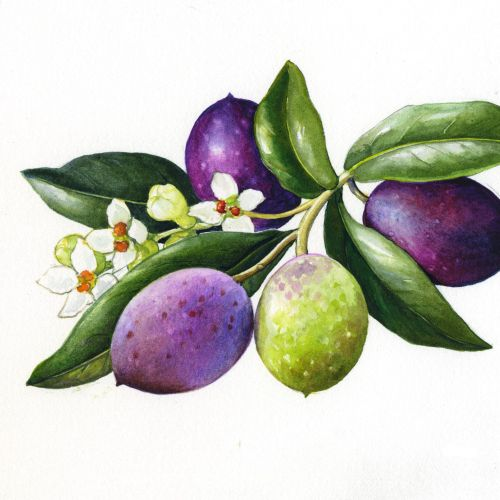 Rosie Sanders International botanical illustrator. UK