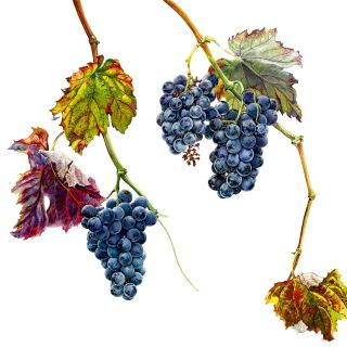 Portuguese wine grape - An illustration by Rosie Sanders
