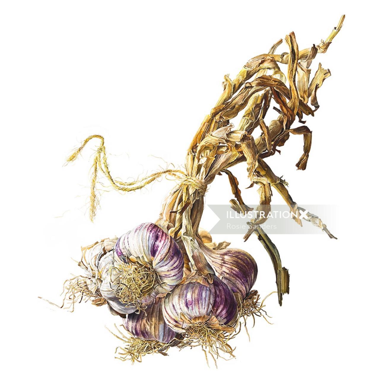 Garlic illustration by Rosie Sanders