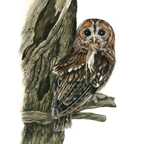 Tawny Owl Bird Photorealistic