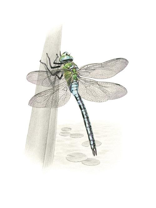 Pencil made art of Emperor Dragonfly