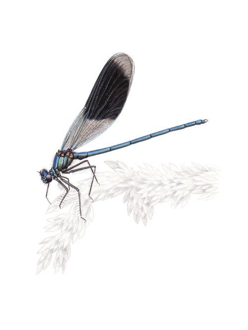Demoiselle à bandes (Calopteryx splendens)