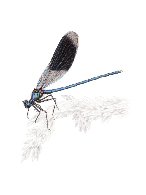Painting of a Banded Demoiselle insect