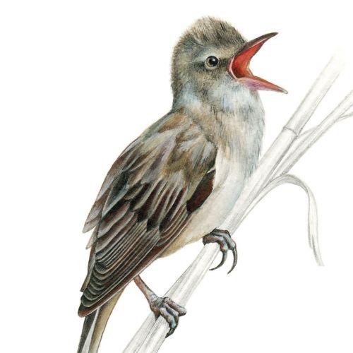 Great Reed Warbler Bird realistic art