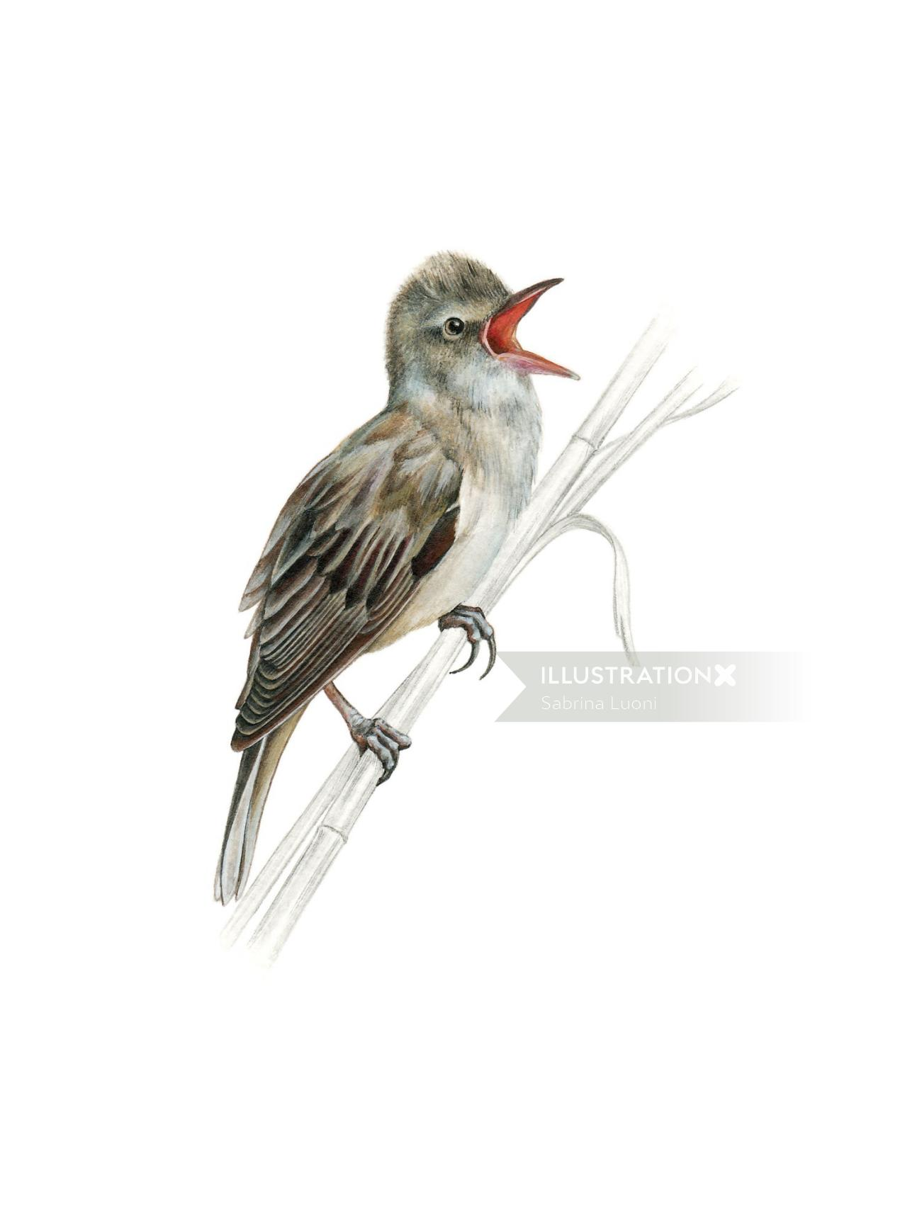 GreatReed Warbler (Acrocephalus arundinaceus)