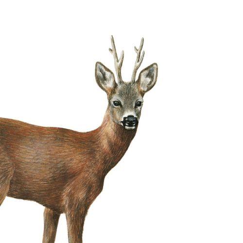Animal Roe Deer illustration by Sabrina Luoni