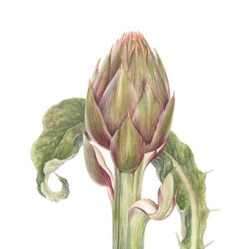 Digital painting of a Albenga Spined Artichoke