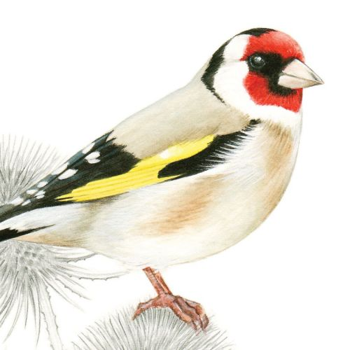 Watercolor painting of a Goldfinch Bird