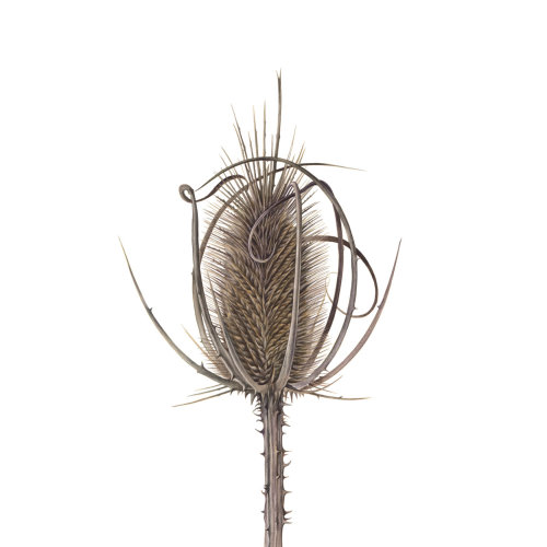 Teasel plant nature illustration