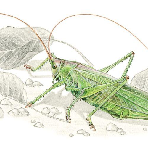 Great Green Bush (CricketTettigonia viridissima)