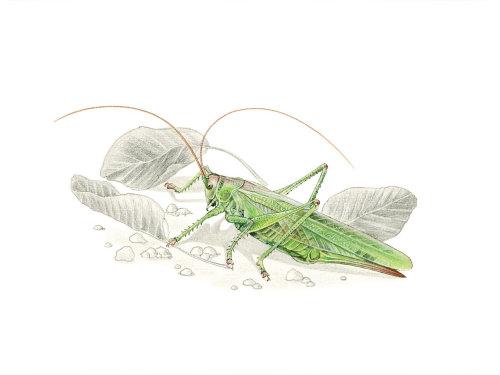 Grand buisson vert (Cricket Tettigonia viridissima)