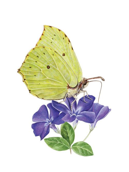 Brimstone Butterfly photorealistic art