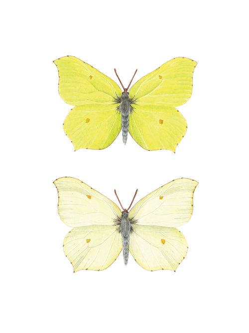 Naturalistic art of Brimstone Butterfly, Dimorphism