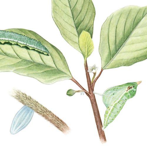 Illustration of Brimstone Butterfly, Metamorphosis