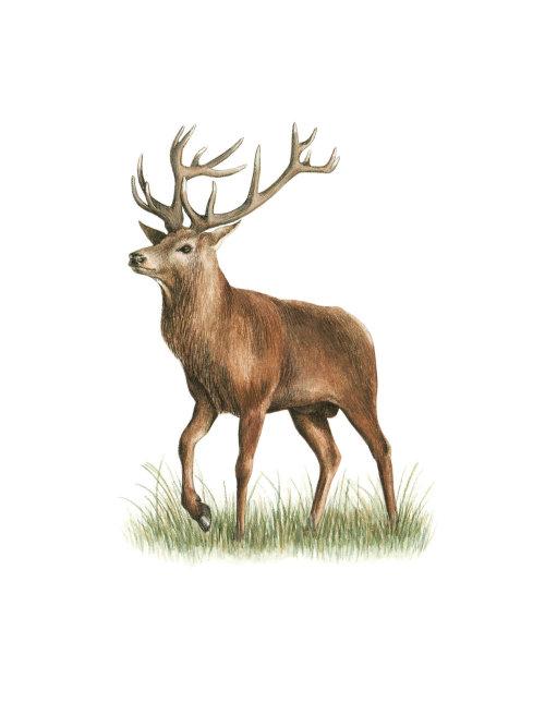 Animal Red Deer painting