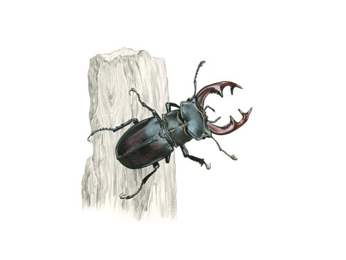 Photorealism of Stag Beetle insect