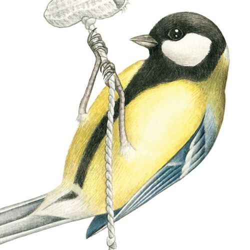 Great Tit Bird eating peanuts drawing