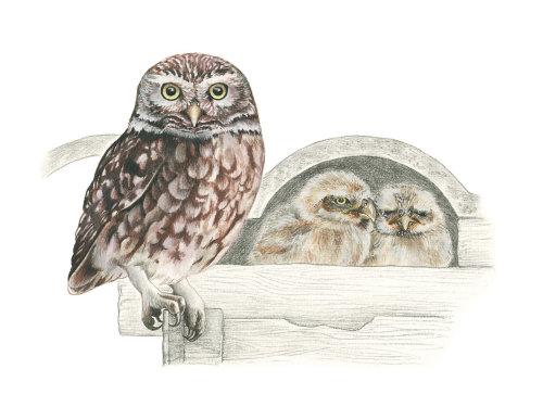 Little Owl with chicks digital art