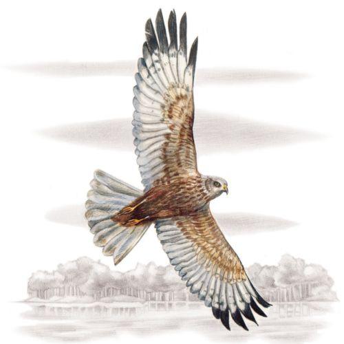 Western Marsh-harrier flying.