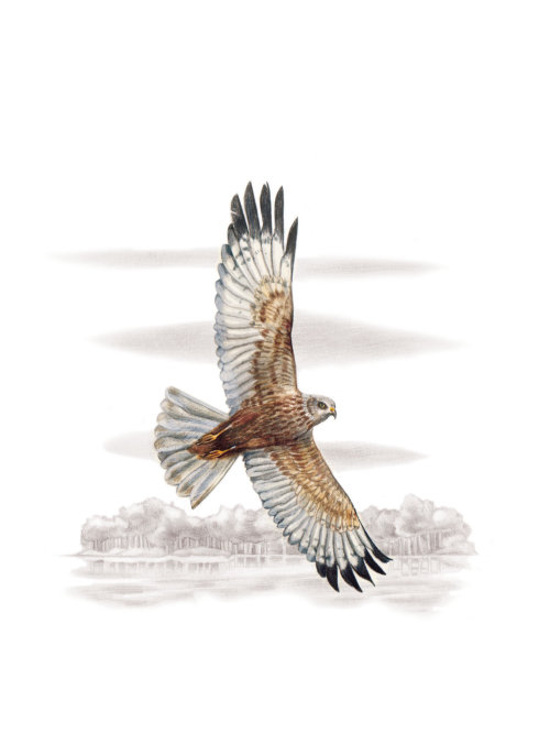 3D design of Western Marsh-harrier bird flying