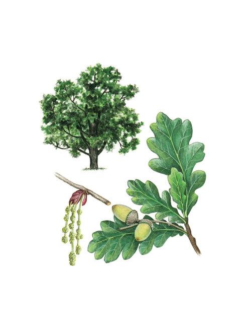 English Oak. Shape, flowers, acorns, leaves botanical illustration