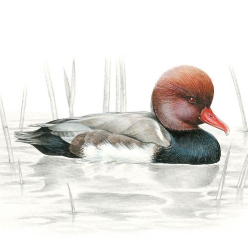 Watercolor painting of a Red-crested Pochard Bird