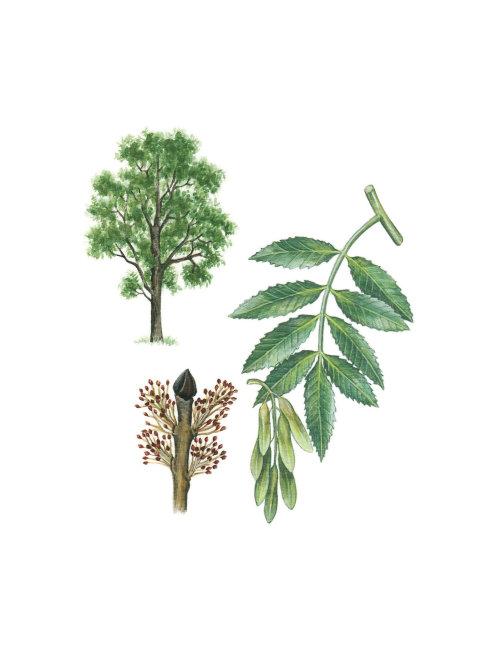 Frêne européen (Fraxinus excelsior)