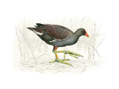 Moorhen commune (Gallinula chloropus)