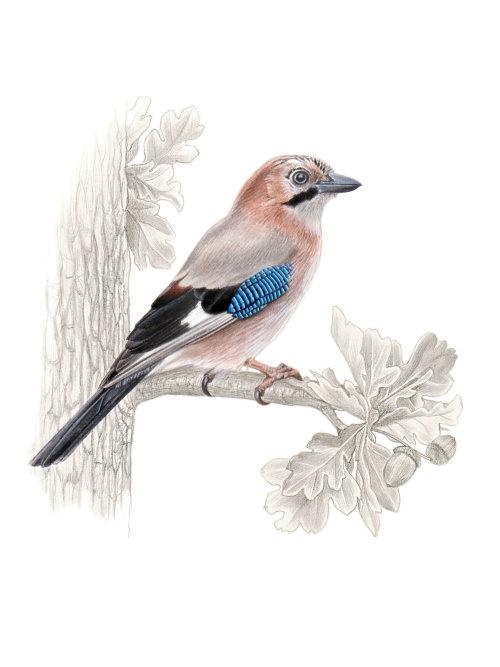 Watercolor and pencil made art of Eurasian Jay Bird