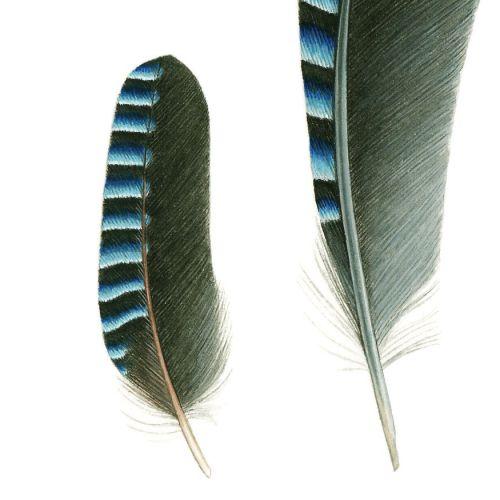 Eurasian Jay (Garrulus glandarius) feathers