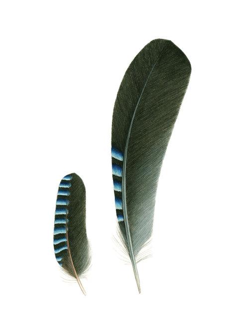 Feathers of Eurasian Jay bird illustration
